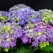 Гортензия Hydrangea Curly Sparkle Blue Purple